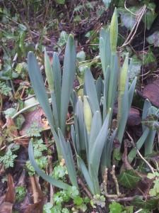 Daffodils at Jackdaws